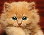 Котенок рыжий пушистый